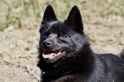 schipperke puppies schipperke breed information pictures characteristics facts dogtime