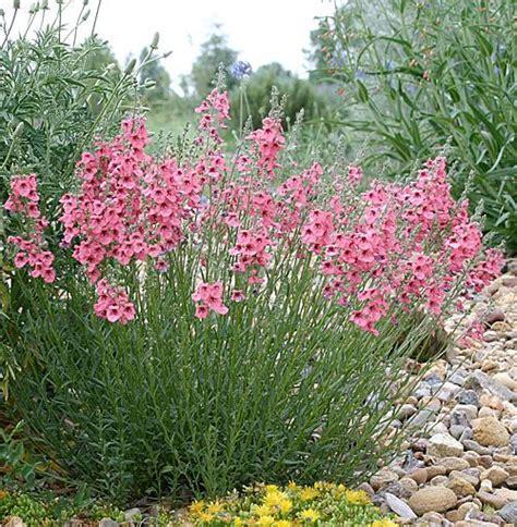 anna s perennials fall flowering perennials fall flowers summer and pink on pinterest