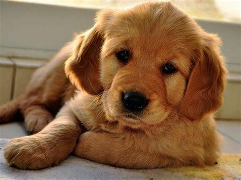 golden retriever md golden retriever puppies in md pet picture gallery