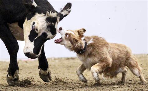 cow puppy cattle dogs success a matter of instinct local news theindependent