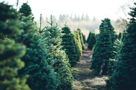 nh magazine best cut your own christmas tree where to cut your own tree this year rock soiree magazine