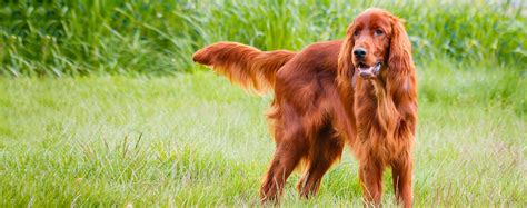 red setter dog temperament irish setter dog breed health history appearance
