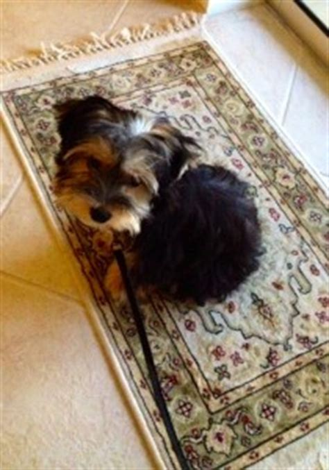 chewbacca yorkie yorkie poo dogs discovered
