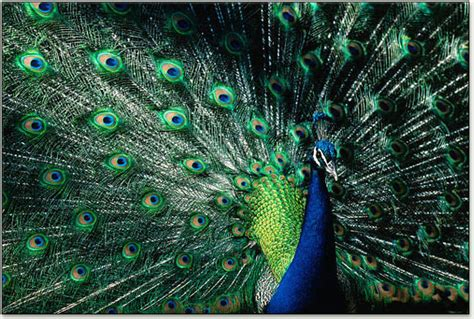 colors of a peacock peacocks causes of color