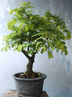 cara sederhana membuat bonsai asam jawa daun ijo
