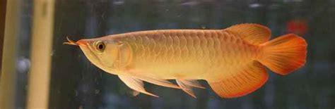 Jual Bibit Ikan Arwana jual ikan arwana binatang peliharaan