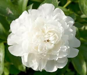 White Peony Flower - paeonia lactiflora elsa sass peony
