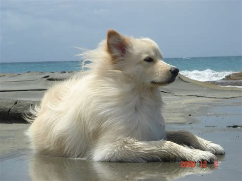 samoyed golden retriever mix wow a golden retriever with samoyed mix she s beautiful i want one like