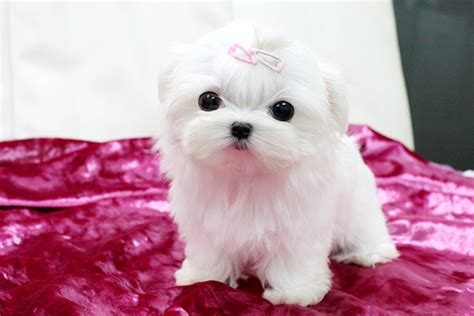 real teacup puppies dogs puppies real teacup maltese puppy breeds picture