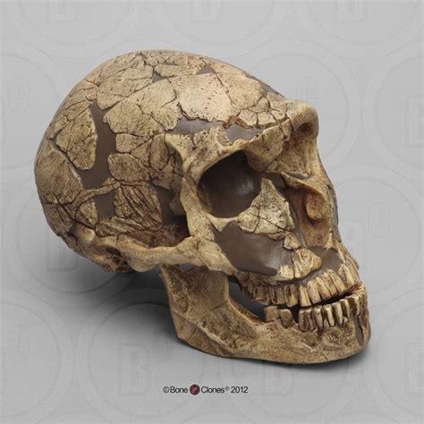 homo neanderthalensis skull la ferrassie  bone clones