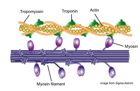 protein f aktin contraction and a really cool protein called myosin