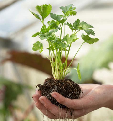 come coltivare il prezzemolo in vaso come coltivare il prezzemolo a casa guadagno risparmiando