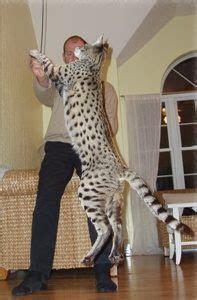 Savannah katt (skitstor katt som ser ut som en minileopard