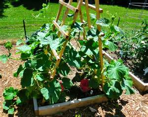 grow cucumbers on trellis growing cucumbers
