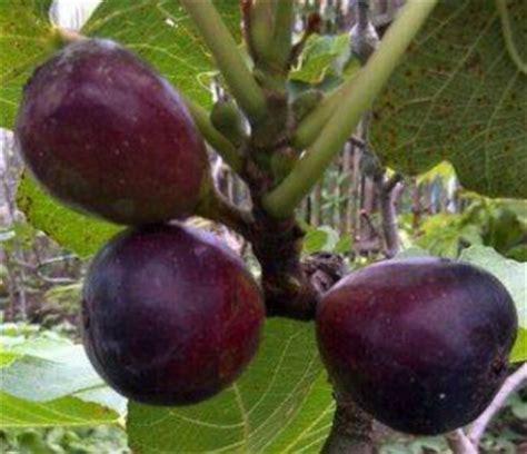 Bibit Buah Ara Tin Black Negro tanaman tin black negro bibitbunga