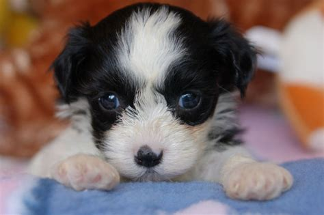 reputable havanese breeders royal flush havanese shares tips on how to find a reputable breeder
