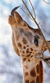 giraffe tongue color 10 best images about giraffe tongues on