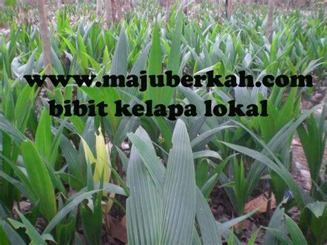 Jual Bibit Kelapa Kopyor Hibrida jenis jenis bibit kelapa bibit tanaman hibrida bibit