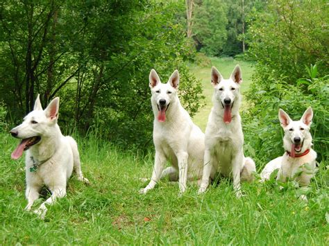 berger blanc suisse puppies 40 wallpapers and pictures of dogs
