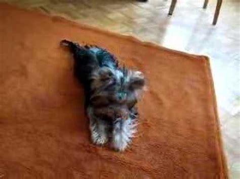 yorkie tricks terrier new trick learned by my yorkie doovi