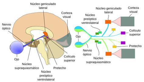 imagenes de las vias visuales 211 rganos animales 211 rganos de los sentidos atlas de