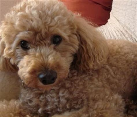 lifespan of small poodle poodle not in the housenot in the house