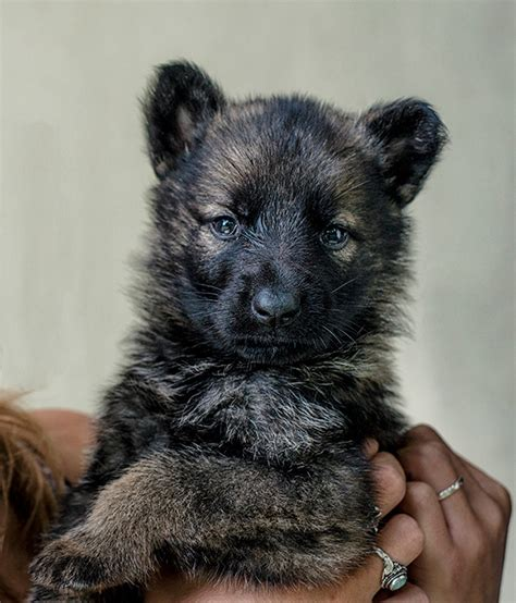 puppy that looks like a cub my german shepherd puppy kinda looks like a cub bored panda