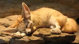 animal fox ear animal wallpaper