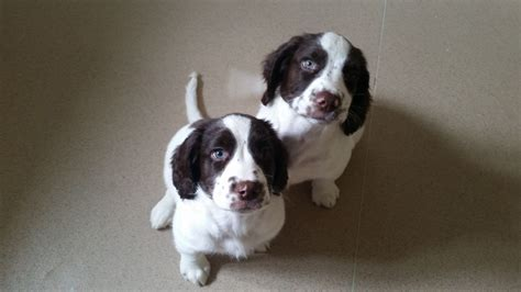 springer spaniel puppies for sale in michigan find wisconsin springer spaniel puppies for sale breeds picture