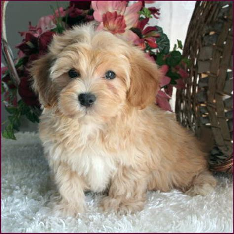 apricot maltipoo puppies for sale maltipoo apricot www pixshark images galleries with a bite