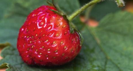 wann ist erdbeerzeit wann pflanzt erdbeeren wann pflanzt erdbeeren