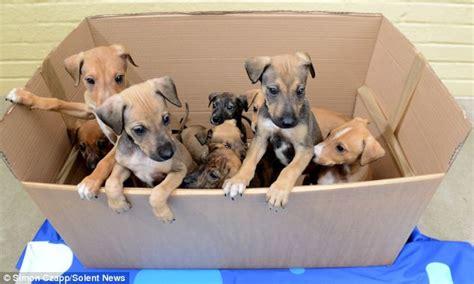 lurcher puppies image gallery lurcher puppies