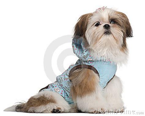 5 month shih tzu shih tzu puppy 5 months stock photos image 20377743