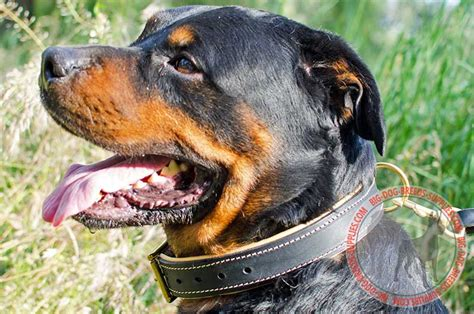 rottweiler collars rottweiler chain collars images