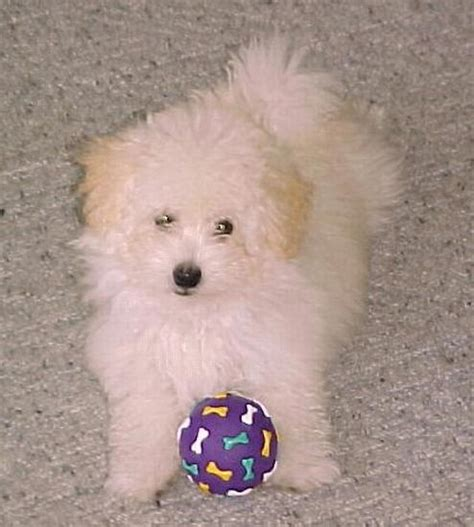 maltese poodle puppies for sale maltese poodle photograph maltese poodle puppies for sale