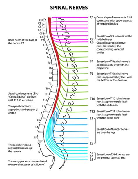 diagram of the spine and nerves diagram of lumbar spinal nerves diagram free engine