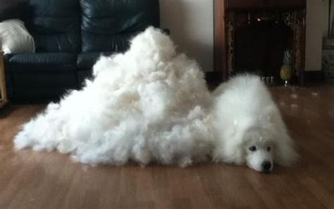dogs mind blowingly shed  fur