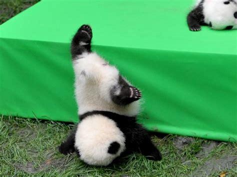 fotos de grupo panda centro de reprodu 231 227 o de pandas apresenta filhotes a