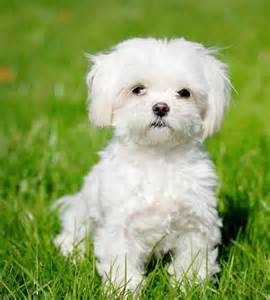 top 15 breeds that do not shed much easyday