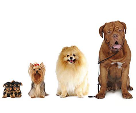 cani da appartamento tranquilli di piccola taglia razze cani taglia piccola idee creative su interni e mobili