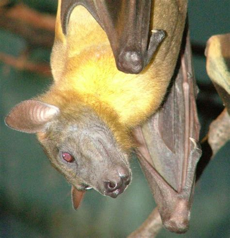 straw colored straw colored fruit bats discover akron zoo mammals
