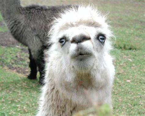 llamas funny llamas llamas pinterest funny