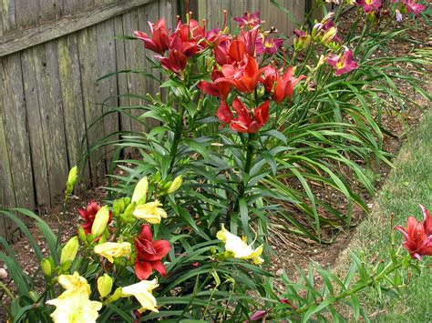 growing lilies from bulbs how to care for lily flowers