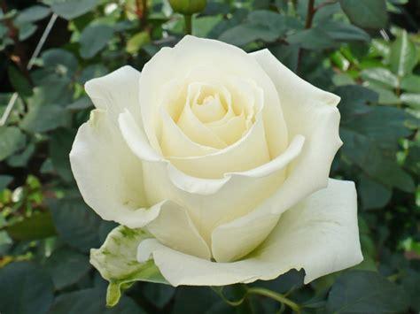 www rose white roses archives virgin farms
