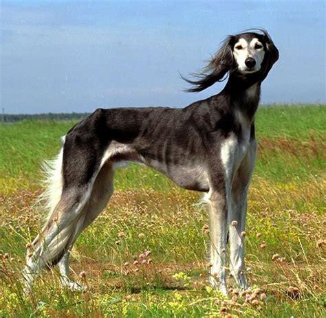 saluki puppy saluki top breeds breeds picture