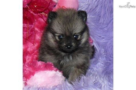 baby doll pomeranian for sale names for teacup puppies breeds picture