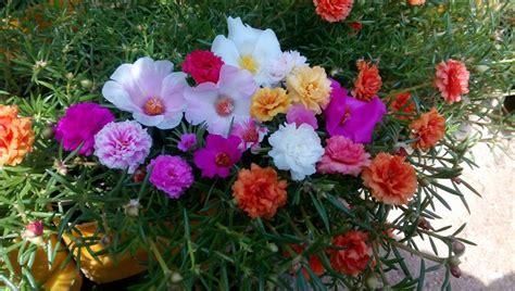 Mawar Moss rumah bunga neisha