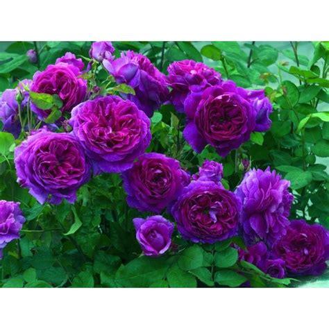 Buy Roses by Climbing Seeds Buy Seeds Onlne Seedarea