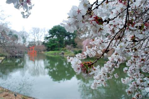 Botanical Garden Cherry Blossom Panoramio Photo Of Botanic Garden Cherry Blossom
