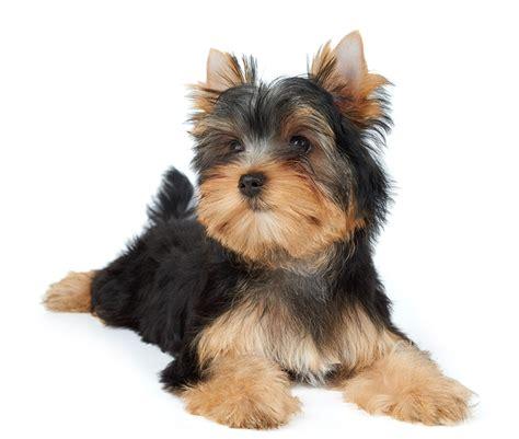 cani da appartamento di piccola taglia cani di piccola taglia da appartamento cani da